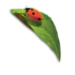 coccinelle+feuille